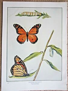 ANTIQUE 1903 MILKWEED / MONARCH BUTTERFLY INSECTS LITHOGRAPH PRINT