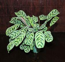 *NEW Prayer Plant Calathea 'Burle Marx' Gorgeous Excellent Tropical Houseplant