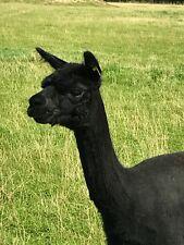 Alpaca PIERNAS Y Cuello De Polar 100% Para Spinning O fieltrar 1kg Negro