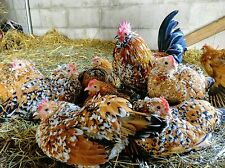 6+ Mille Fleur d'Uccle, BLRW Wyandotte Bantam Chicken Hatching Eggs Mix