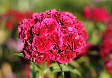 "Bartnelke Dianthus barbatus 300 exotische Samen ""ALLES NUR 1 EURO"""