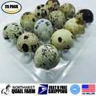 25 JUMBO Quail Egg Cartons, Holds 12 Eggs, Secure Snap Close, Fast Shipping!