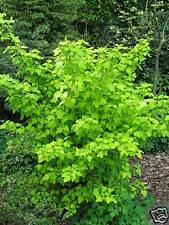 Spiere Physocarpus opolifolius Darts Gold 40-60cm Zwergstrauch Sommerblüher