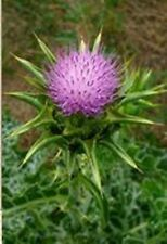 Seeds Blessed Milk Thistle Silybum marianum Russian Organically Grown