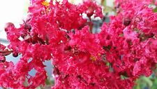 LAGERSTROEMIA INDICA var. COCCINEA  v20 Largestroemia a fiori rossi red flowers