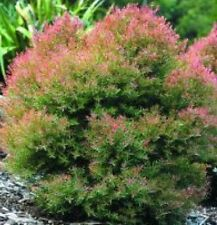 CLARET TOPS Melaleuca Australian native dwarf shrub plant in 140mm pot