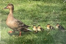 Canvas Print of Mallard Duck & Ducklings - Wildlife Photography Derek A Briggs
