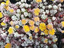 Fetthenne Sedum spathulifolium Cape Blanco Sommerblüher