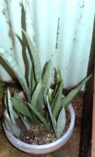 Sansevieria trifasciata 'Moonbeam' - Rooted Cacti/Succulent plant ..Nice!