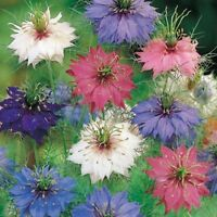 Love In A Mist- Persian Jewel Mix-Nigella- 100 Seeds - - BOGO 50% off SALE