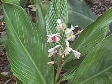 Alpinia Formosana - Pinstripe Ginger
