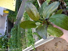 1 pot d echinodorus ocelot rouge plante aquarium tres rare made in france