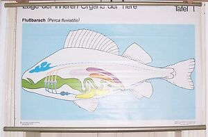 GDR School Map Wall Chart Roll Chart Organs by The Perch Um 1970 Fish