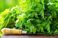 CORIANDER - 400 SEEDS - cilantro - Coriandrum sativum - Herb - HERBS
