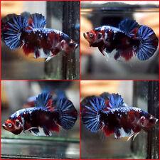 New listing Live Betta Fish Fancy Black Red Blue Galaxy Koi Halfmoon Plakat Hmpk Male C42