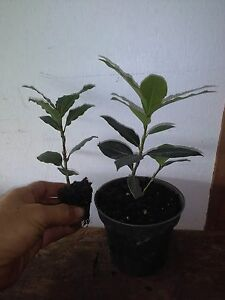 Laurus nobilis - 'Bay Leaf Tree'  - Bay Laurel live  plant free shipping