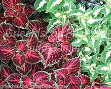vieux garçon Coleus mélange multicolore 100 Graines superbe Plantes d'intérieur