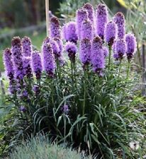 500 Purple Blazing Star Gayfeather Liatris Spicata Flower Seeds +Gift & Comb S/H