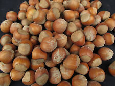 5 Pounds In Shell Hazelnuts, Filberts