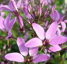 SENORITA ROSALITA Cleome spinosa pink-purple flowers plant in 140mm pot