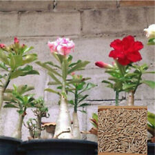 200Pcs Adenium Desert Rose Flower Seeds Gardening Plant Perennials Hot