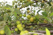 Fresh tropical exotic monkey apple tree/plant/fruit 5 seeds