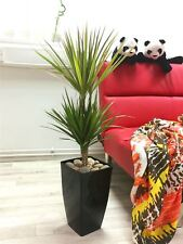 Large Double Dragon Tree House Office Plant @ Gloss Black Tall Milano Pot Pebble