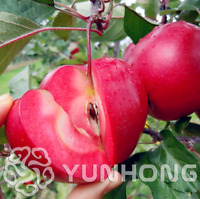50 PCS Seeds Red Apple Fruit Meat Potted Fruits Tree Bonsai Garden Pot NEW 2019