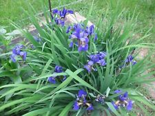 (10  Siberian Iris Plants w/ Roots - Tall Foliage Eye Catching Purple Flowers
