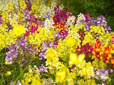 SCHACHBLUME 100 Samen Frittilaria Meleagris  GEFÄHRDETE ART !! Schachbrettblume