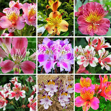 100Pcs Mixed Peruvian Lily Seeds Plant Garden Bonsai Decor Flower Alstroemeria