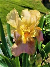 """Nibelungen"" Rebloomer Tall Bearded Iris - Yellow Gold and Purple - 1 plant"