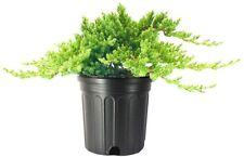 Dwarf Japanese Garden Juniper | Large Gallon Size Plant | Procumbens Nana