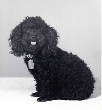 2 Vintage images miniature black poodle dog tags begging&sitting textured paper