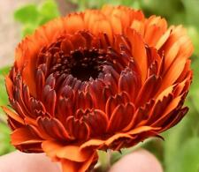 Calendula Officinalis - Indian Prince - 50 Seeds - Pot Marigold Medicinal Plant