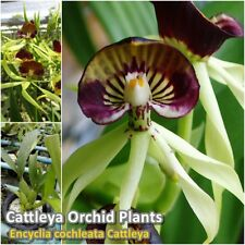 "Encyclia cochleata Cattleya Orchid Plants Flower size 3.5"" Thai Orchid Plants"