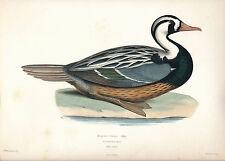 1845 DesMurs ICONOGRAPHIE ORNITHOLOGIQUE Prevost lithogr Merganetta Torrent Duck