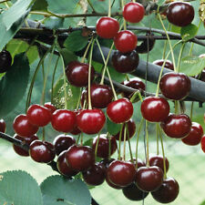Best Original Cherry Tree Seeds - MIGHTY MIDGET - Large Sweet Cherries 10 seeds.