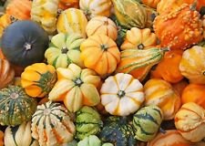 Rare Seeds Pumpkin Decorative Mix Organically Grown