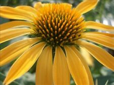 ECHINACEA - BIG SKY HARVEST MOON  - CONE FLOWER - 1 PLANT - QUART POT - see ship