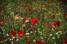 Fairy Flower Seeds WILD FLOWER BUTTERFLY & BEE MEADOW MIX 50/50 - 3g