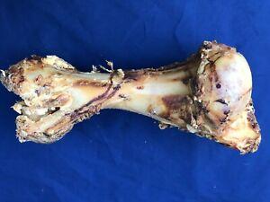 POSTMANS LEGS - Large Whole Roast Dog Bone XL Giant Jurassic Bone Food Treats