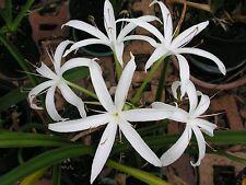 Crinum Lily, Americanum, medium-size bulb - aquatic