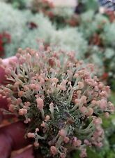 5 pk Dibaeis Baeomyces PINK EARTH LIVE LICHEN MOSS TERRARIUM FAIRY GARDEN PLANTS