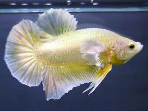 (Limited!) Premium Live Betta Fish l Male Dumbo Super Gold Plakat M9