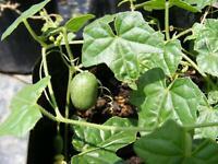 Cucamelon (Melothiria scabra) Seeds