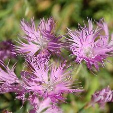 30+ Dianthus Purple Superbus Carnation Flower Seeds / Perennial / Great Gift