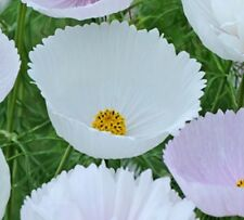 F0827 Cosmos Cupcakes White x20 seeds