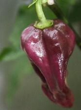 PURPLE BHUT JOLOKIA pure seeds