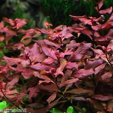 Ludwigia sp. Mini 'Super Red' Bunch Live Aquarium Plants Repens Buy2Get1Free*